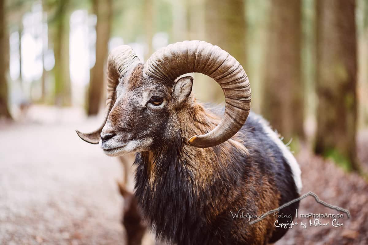 Muffelwild oder Mufflon