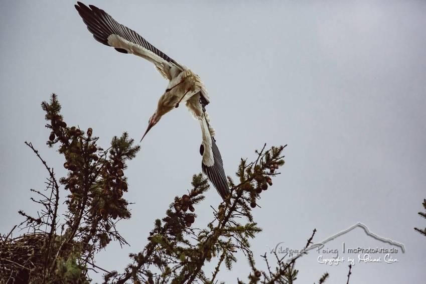 Der Storch im Landeanflug