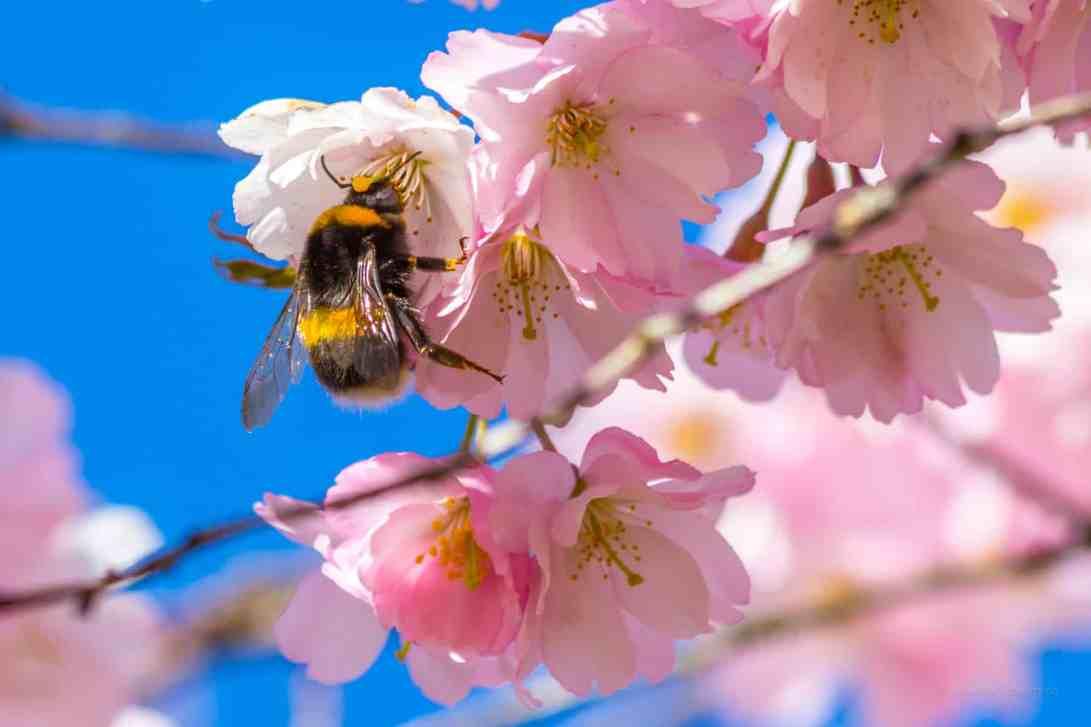 Hummelglück an Kirschblüte