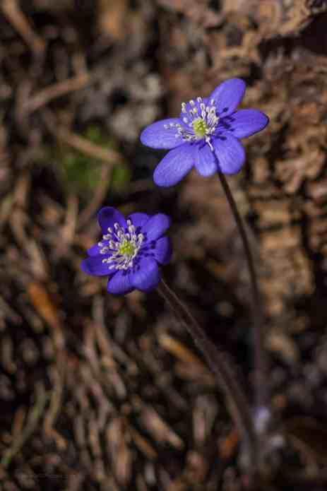 Die ersten Frühlingsboten erblicken das wärmende Sonnenlicht im Oberland - Leberblümchen