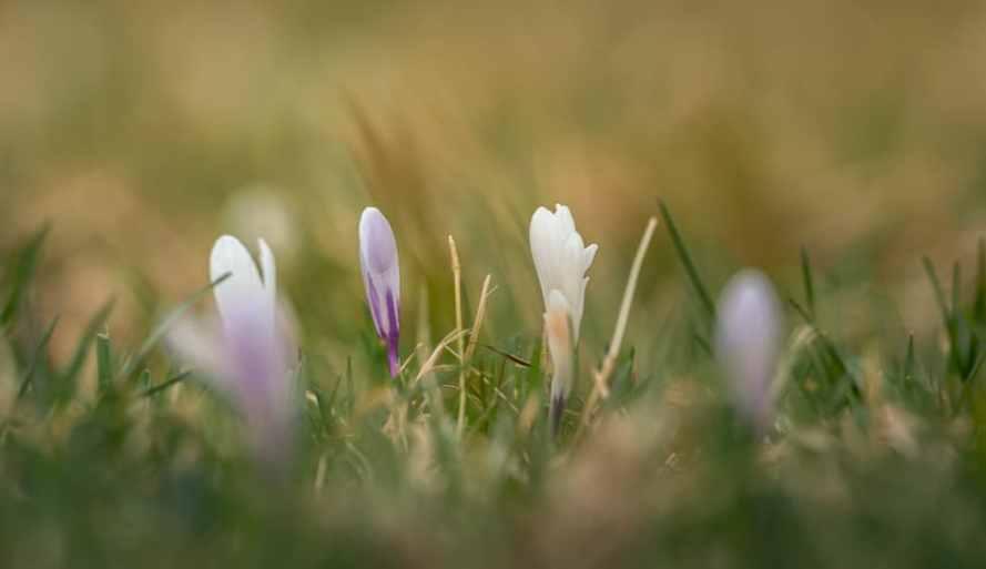 Krokuswiesen am Geroldersee