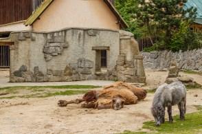Trampeltier & Pony