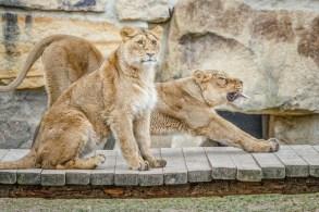 Der Löwe (Panthera leo)