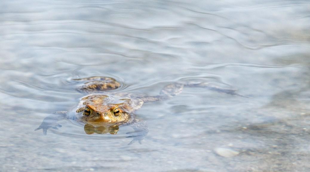 Die Erdkröte.