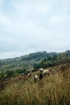 Schafsarbeit