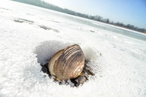 Muschel im Eis.