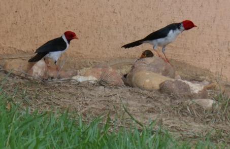Cardinal-Vögel