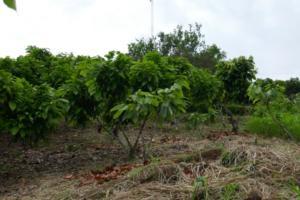 Kakao Pflanzen