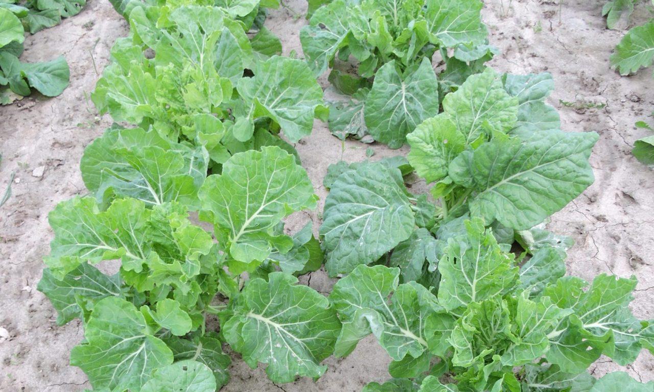 Cabbage Collard – 30