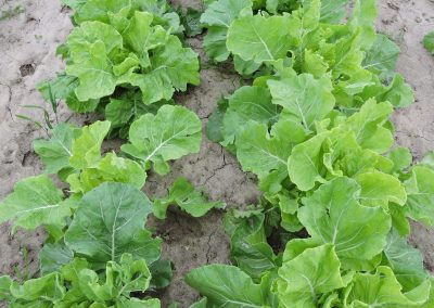 Yellow Cabbage Collard – 38