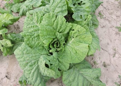 Weldon Rouse Old Timey Cabbage Collard – 43