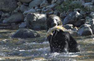 サケを獲るヒグマ