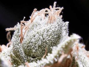 Quality Cannabis Crystals