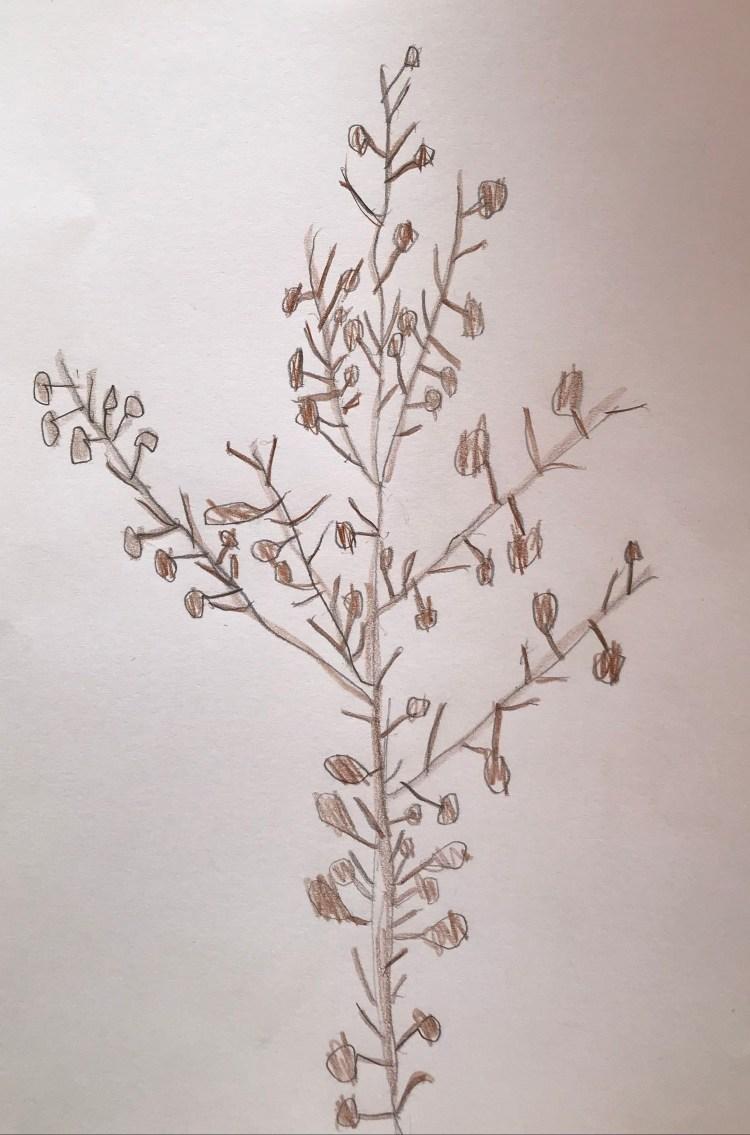 Teckning av sargassosnärja