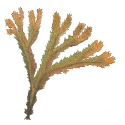 Bild av sågtång, Fucus serratus