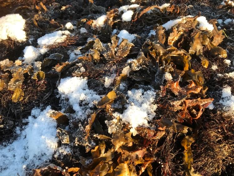 Vinter vid havet: sågtång (Fucus serratus) i snö och is.