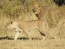 76_Löwenpaar