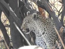 85_Leoparden