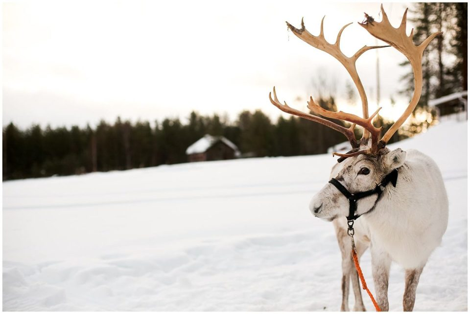 reindeer in finnish laplands Finland by Helena Woods Photography