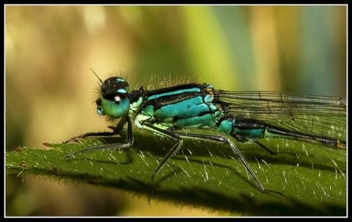 Blue-taled damselfly at Brockholes Lancashire Wildlife Trust England