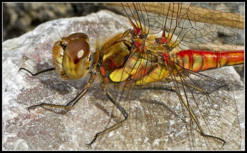 common darter dragonfly at Brockholes LWT Lancashire England