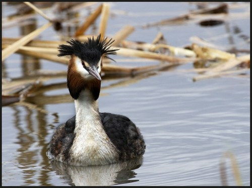 great crested grebe nest building at hogganfield loch glasgow scotland