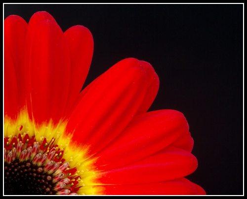 gerbera still life flower