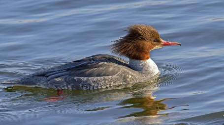 female goosander at Hogganfield loch glasgow in winter uk