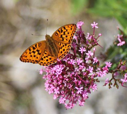 High Brown Fritillary