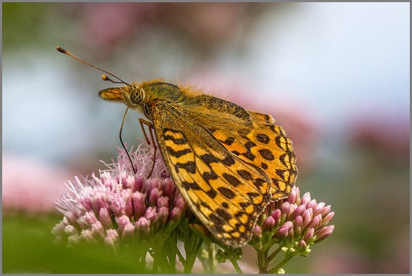 Fritillary at Arneside Knott Butterfly