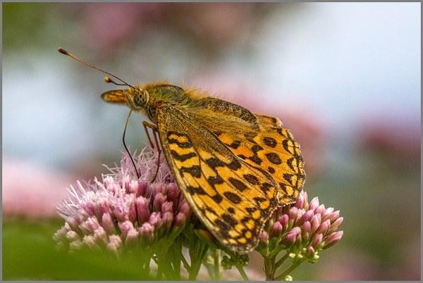 Fritillary at Arneside Knott Butterfly