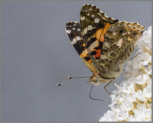 Painted Lady butterfly buddleia