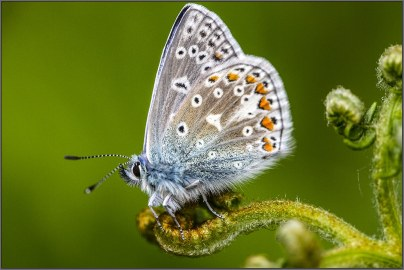 Common Blue on Fern butterfly