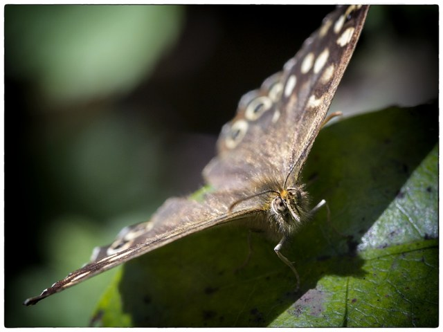Speckled wood front view