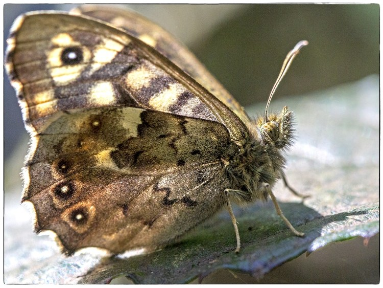 speckled wood underwing