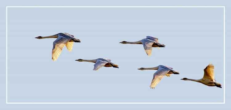 WWhooper swans in winter sun
