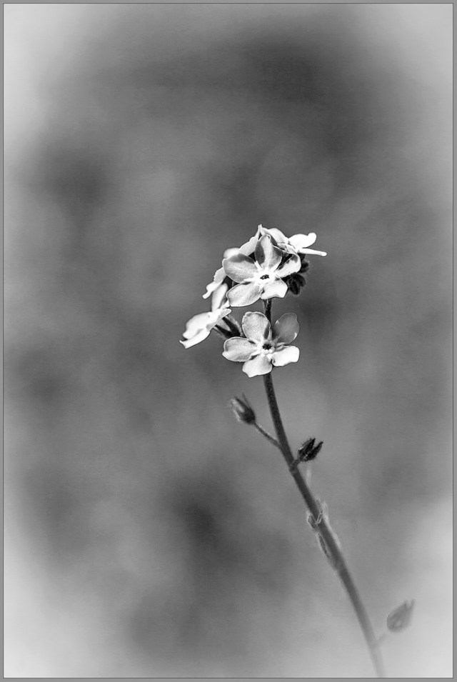flower monochrome B&W
