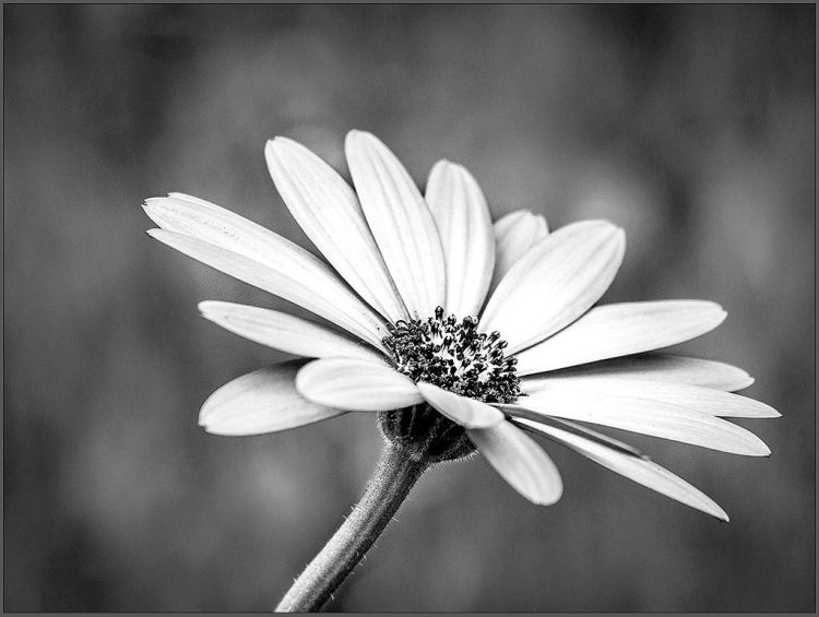 Single Flower monochrome B&W