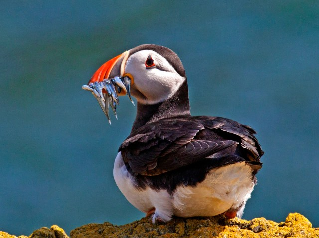 Puffin ,Isle of May, sand eels, Birdwatching Scotland