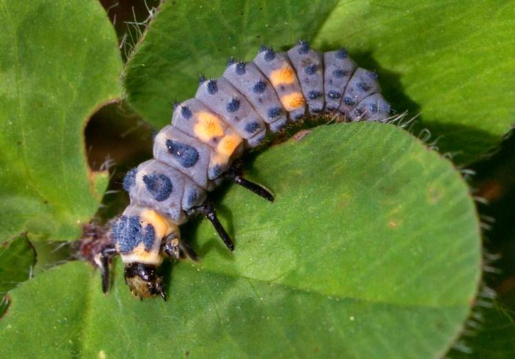 caterpillar larva ladybird