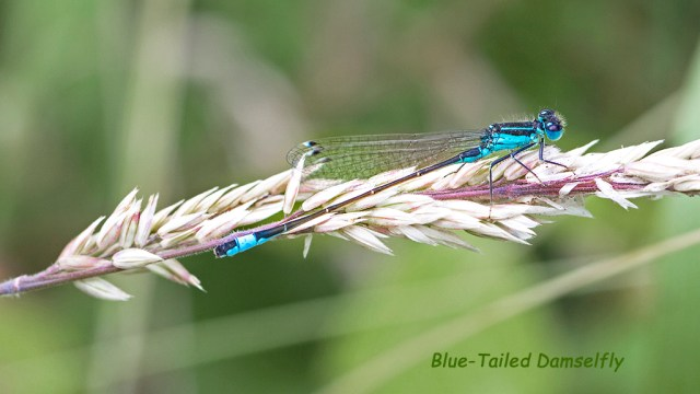 Blue-Tailed Damselfly macro Brockholes