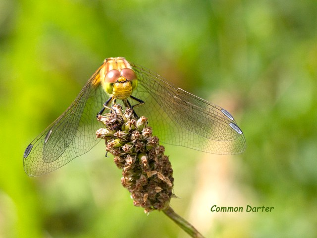 Common Darter dragonfly Brockholes