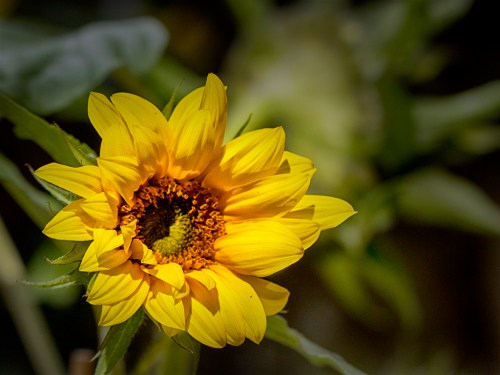 Sunflower in Garden