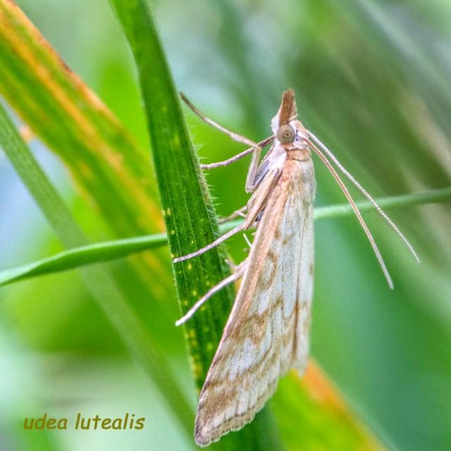 Idea Lutealis underside moth day-flying