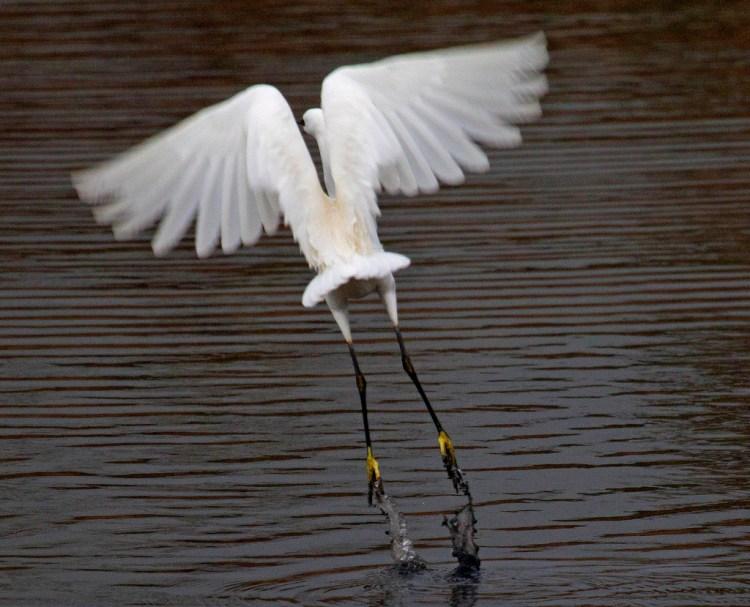 Little Egret Leighton Moss RSPB flight feathers