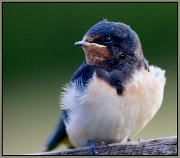 Young Swallow Wicken Fen