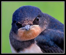 Young Swallow (close up)