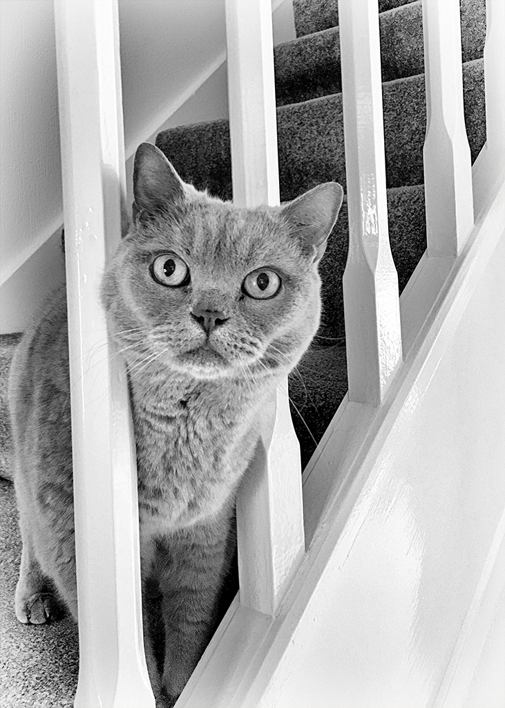 Misty BHS British shorthair cat monochrome