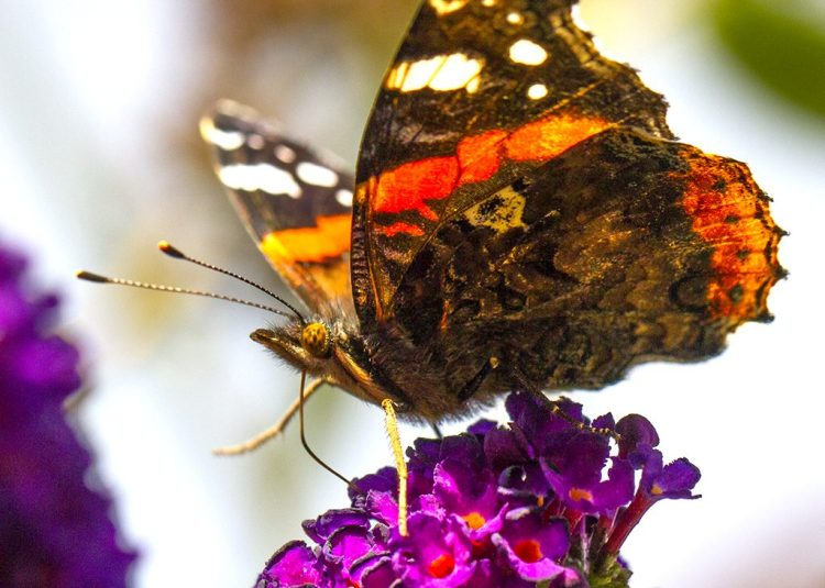 Red Admiral butterfly macro
