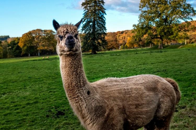 Alpaca Armathwaite bassenthwaite grazing